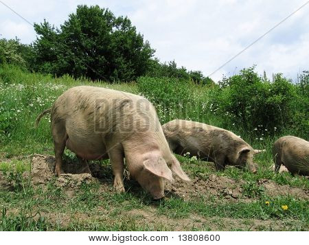Three piggy in grassland