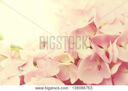 hydrangea flowers - Hydrangea arborescens - shallow depth of field. Toned photo