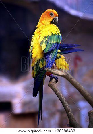 Sun Parakeet bird sitting on tree branch