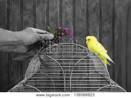 Human hand with a plant attracting attention of a small budgie selective color shot