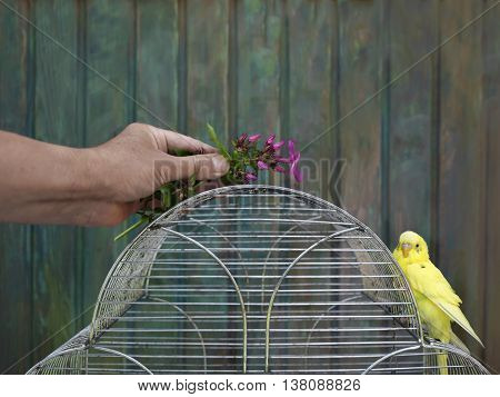 Human hand with a plant attracting attention of a small budgie sitting on a top of his cage. Shallow depth of field shot