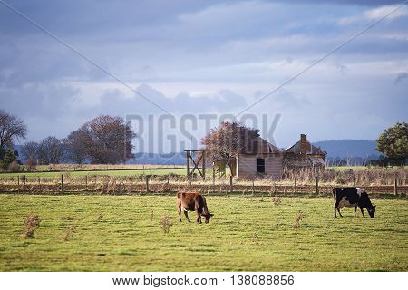 Diary Cattle In Pasture