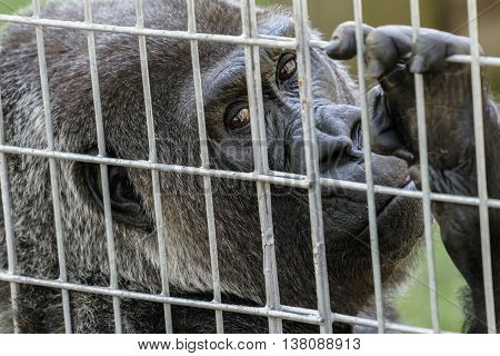 The face of a sad captive gorilla behind bars