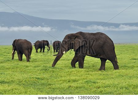 Herd of elephants grazing in the Ngorongoro Crater, Africa.