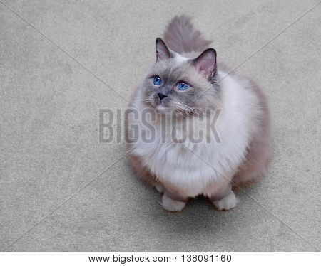 Blue eyed cat. Ragdoll cat purebred blue mitted.