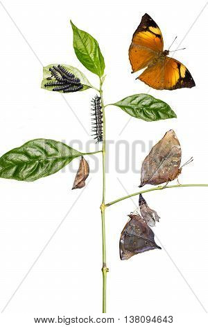 Autumn Leaf Butterfly Life Cycle