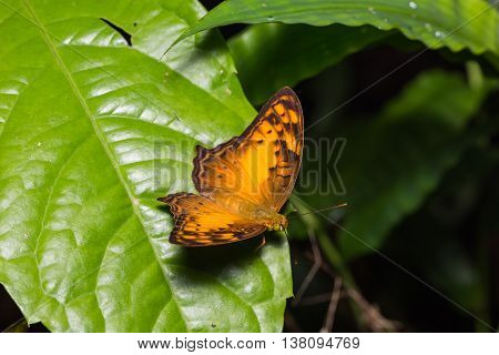 Vagrant Butterfly In Nature