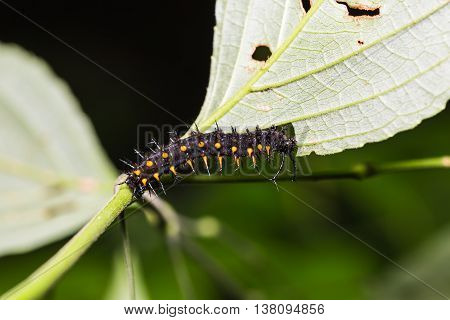 Young Orange Oakleaf Caterpillar