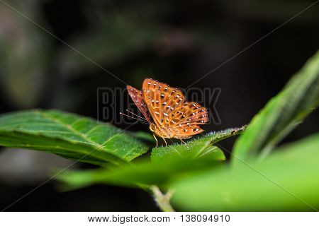 The Punchinello Butterfly