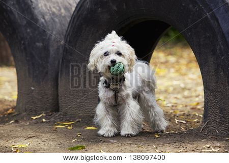 the dog breed maltese bichon is playing with a ball