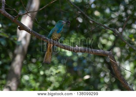 Blue-bearded Bee-eater On The Branch In Nature