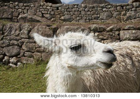 White llama close ap in the Peru