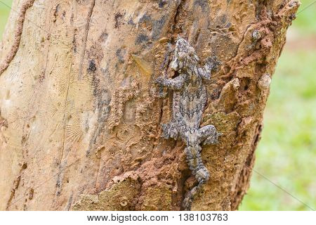 Smooth-backed Gliding Gecko Or Ptychozoon Lionotum