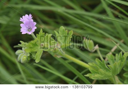 Doves foot Cranesbill - Geranium molle Pink Flowers in Grass