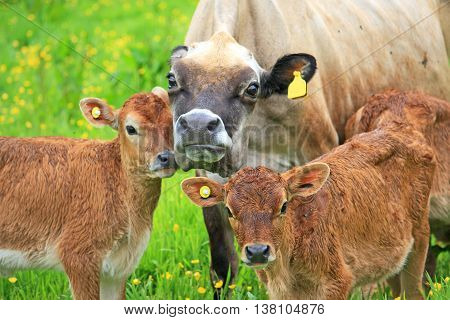 Cow and Calves in a field full of buttercup flowers