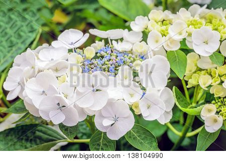 Closeup of a Hydrangea macrophylla shrub with pure white petals and in the background small blue purple and green buds. It is summer now.