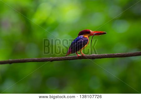 Bird in nature black-backed (oriental dwaft) kingfisher on the branch in nature