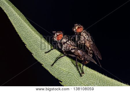 Isolated Fly Having Sex On The Black Background
