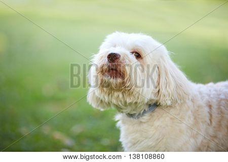 Havanese Dog Looking Before Barking