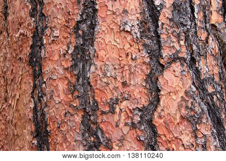 Close up of texture on trunk of a Ponderosa Pine tree in Flagstaff Arizona. Bark peeling in a unique puzzle formation