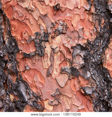 Macro Close up of texture on trunk of a Ponderosa Pine tree in Flagstaff Arizona. Bark peeling in a unique puzzle formation