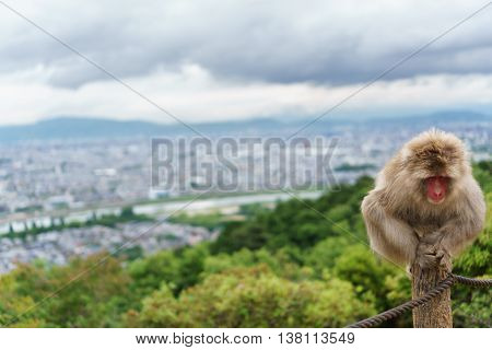 Front view of Monkey looking down in Arashiyama mountain, Kyoto