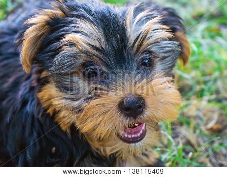 Small fluffy puppy - Yorkshire Terrier dog