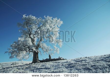 Alone frozen tree on the blue background