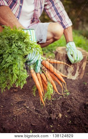 Gardener crouching with fresh organic carrots at farm