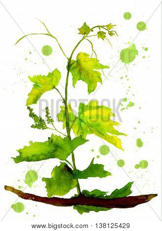 Green sapling of grape with color spots.