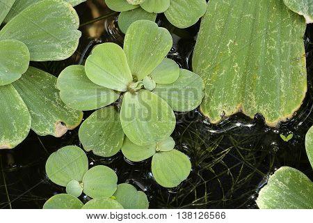 Pistia is a genus of aquatic plant, Close up