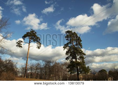 Two pines in the park in Kiev