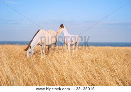 White Horses family in Crimean prairie in front of the sea