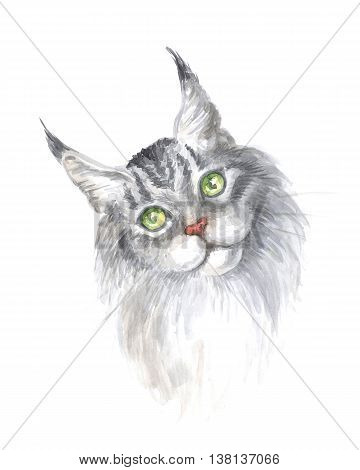 Silver maine coon cat. Image of a thoroughbred cat. Watercolor painting.