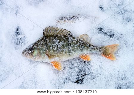 large perch in the snow, fished out from under the ice