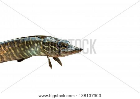 small pike finned isolated on white background