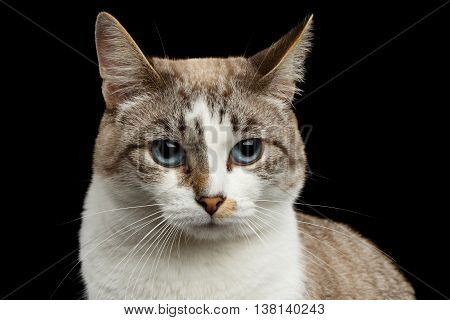 Closeup face of White Cat, Red nose, offended looks Huge Blue Eyes Isolated Black Background, Front view