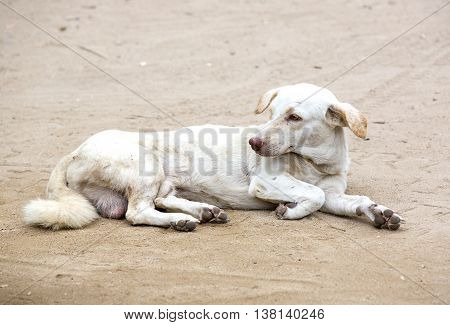 Homeless dog lying in the middle of the road