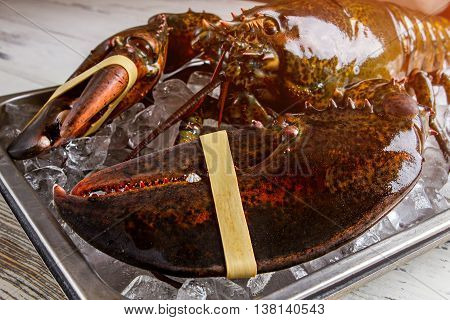 Raw lobster with giant claws. Tied lobster on ice cubes. Stay away from the claws. Shell that's hard to crack.