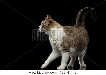 Playful Walking White Cat Crouching on Isolated Black Background, Profile view