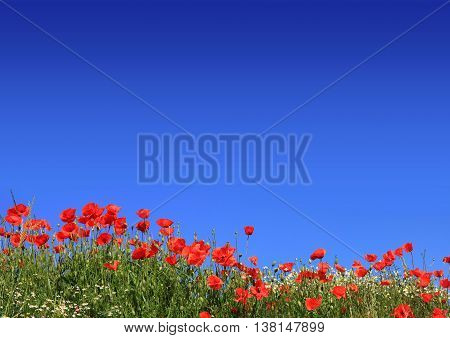 Red Poppies And Marguerite With Blue Sky Background