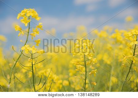 Soft Rapeseed Background High Key