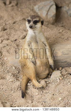 Meerkat resting in open zoo of Thailand (selective Focus)