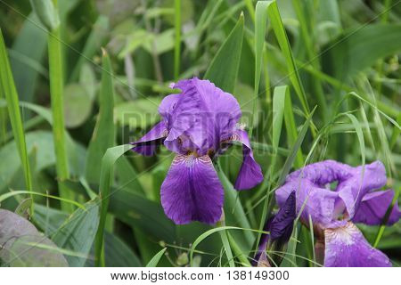 purple irises bloomed in the garden, purple iris