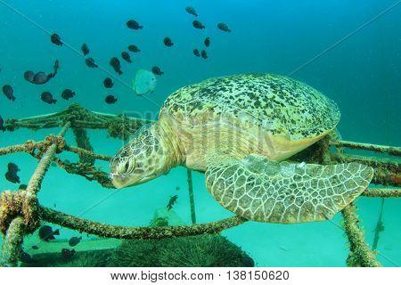 Large Green Sea Turtle sleeping on shipwreck