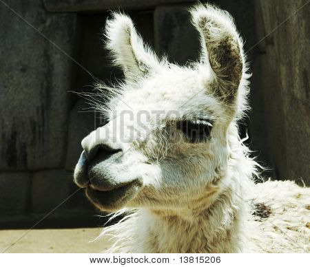 White llama close ap in the Peru