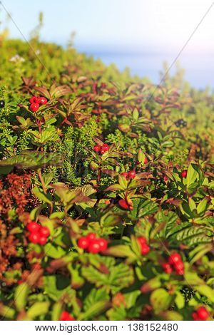 Ripe cranberries on the beach, norway, north, travel, mountains with sunny hotspot