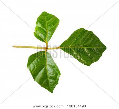Decorative green leaves, isolated on white