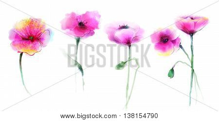 Watercolor painting poppy flower. Isolated flowers on white background. Set of Pink and red poppy flower painting. Hand painted watercolor floral flower background.