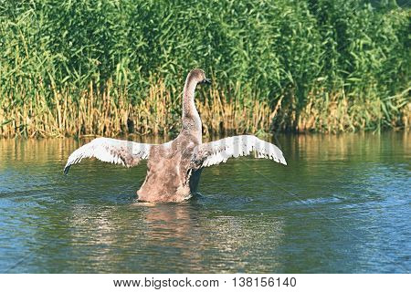 Beautifully young swan (Cygnus olor) Nature - pond.